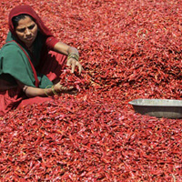 Woman working on a chili farm in India.