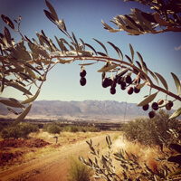 Tulbagh Valley Olive Farm in South Africa.