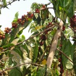 Coffee cherries in a tree near Mubende.